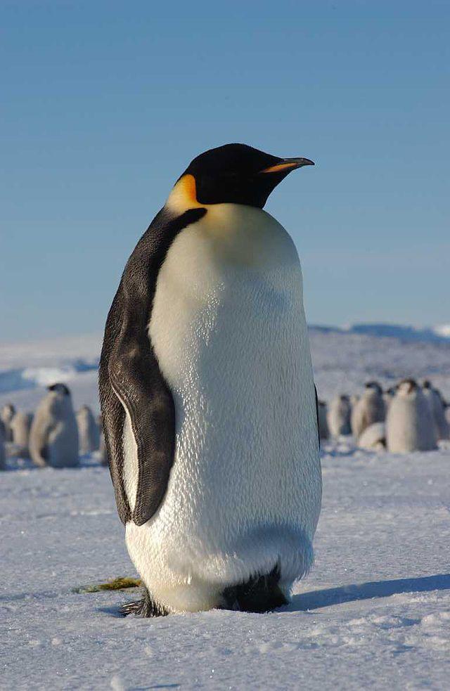 El pingüino prehistórico gigante - Ciencias físicas, Ciencias de la ...